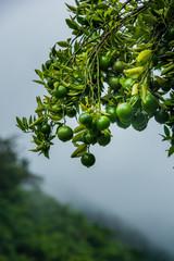 unripe (amature) fruits of orange cultivars Sai Nam Pherng