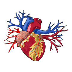 Human heart. Vector illustration on white background.