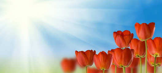 Foto op Canvas Tulp beautiful flowers in the park on sky background close-up