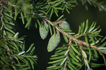 Green needles of fir