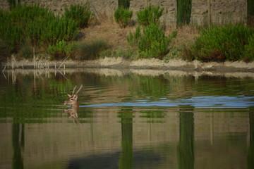 Cervo che nuota