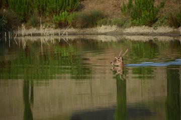 Cervo maschio che nuota in un laghetto