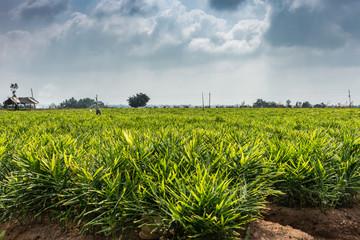 Acrylic Prints Village Belathur, Karnataka, India - November 1, 2013: Wide shot of intense green ginger field under cloudy sky, separated by dark green trees on the far horizon.