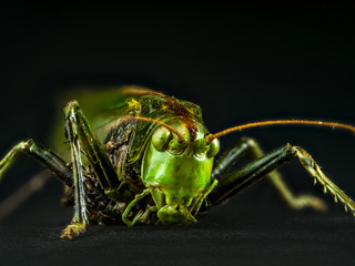 Macro shot of grasshopper