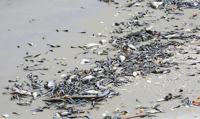 Toxic algae also known as red tide causes tremendous amounts of fish to wash up dead on Fort Myers Beach and other west coast cities in Florida, USA.