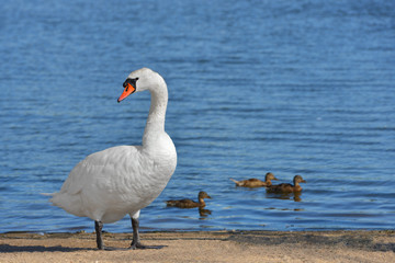 Mute swan (Cygnus olor) against a background of ducks on blue lake