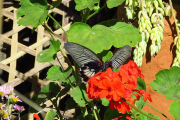 Beautiful rare butterfly on a geranium in the small mountain village of Sekha, East region of Nepal