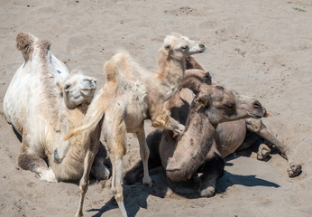 Bactrian Camel family with a playful baby