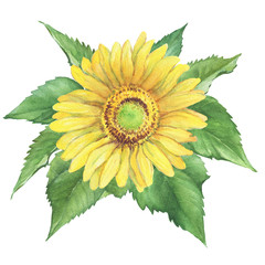 Yellow flower of agriculture plant sunflower (also known as Helianthus annuus). Watercolor hand drawn painting illustration isolated on a white background