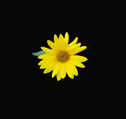 Yellow Sunflower centered on a dramatic black background