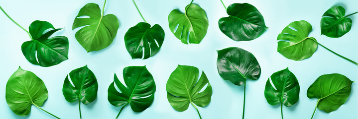 Pattern of tropical monstera leaves on blue background. Flat lay. Top view. Pop art design,...