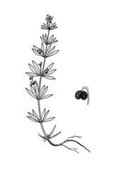 galium tricornutum bptanical illustration