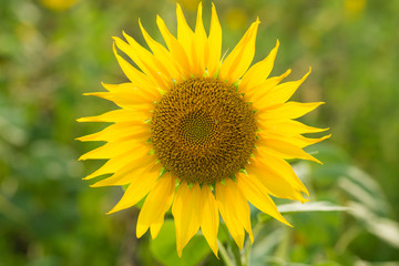 Sunflower natural background, Sunflower blooming, Sunflower oil improves skin health and promote cell regeneration