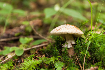 Autumn poisonous mushroom in forest.