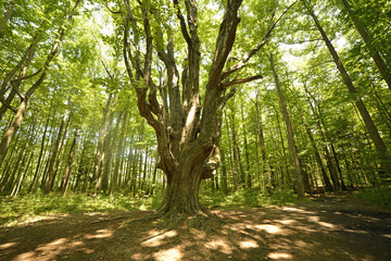Massive elm deep in the forest
