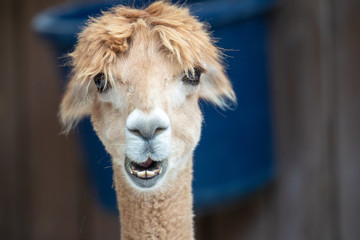 Foto op Aluminium Lama Llamas