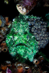 Marble-Mouthed Frogfish Brooding Eggs on Reef in Raja Ampat