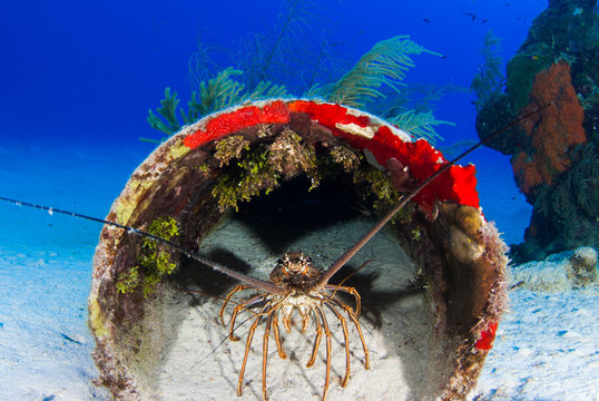 A Caribbean spiny lobster has made a home out of some old pipe. This sea creature likes to live in a protected location in the day and the structure around it makes it feel safe