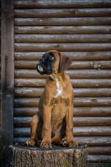 Boxer dog sitting on the stump.