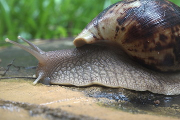 The grape snail crawls on a wet stone after a rain