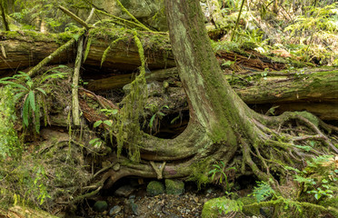 huge exposed tree roots covered in mosses inside lush forest