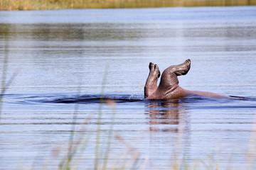 Hippopotamus, Hippopotamus amphibius, playing in a pond in Moremi National Park, Botswana