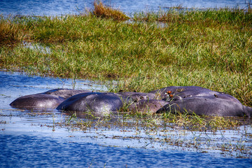 Hippopotamus, Hippopotamus amphibius, in Lake Moremi National Park, Botswana