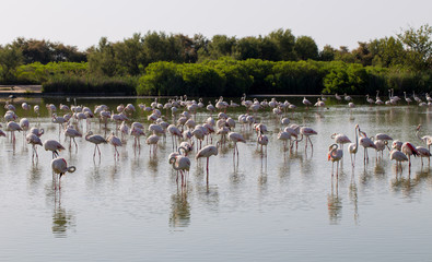 Flock of pink flamingos resting in Carmargue wetland