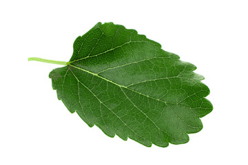 Mulberry leaf isolated