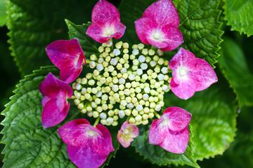 赤い額紫陽花