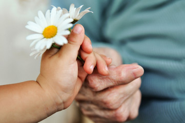 baby hand gives chamomile for older woman on holiday