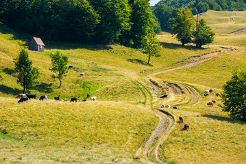 cattle of cow grazing on a grassy pasture. road winds uphill in to the forest