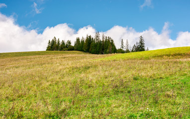 spruce woodlot on top of a hill. hillside with weathered grass in early autumn. massive cloud behind the scene. lovely nature background