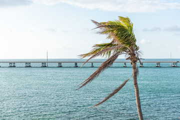 One green palm tree swaying leaves in the wind at sunset evening in Bahia Honda State Park, Florida Keys, with bridge, ocean and gulf of mexico