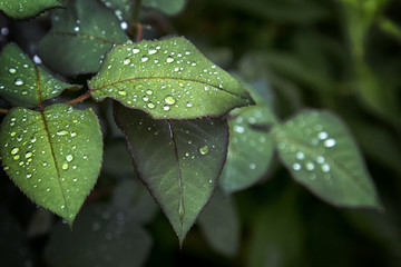 fresh green rose leaf background, rain drops on the leaves. after the rain