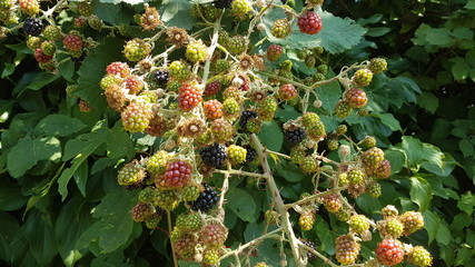 Blackberries in all colors growing on plants on the street of Leidschendam in the Netherlands