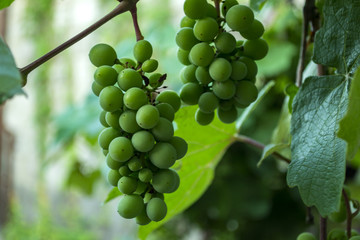 The clusters of grapes close up.