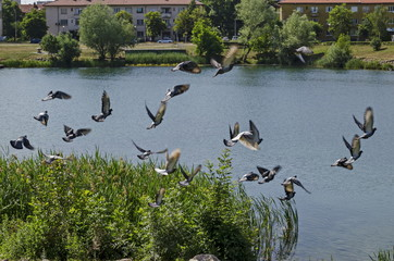 Group Pigeons, dove or Columba livia with variegated feathers fly over the  lake, district Drujba, Sofia, Bulgaria