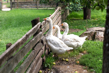 Curious geese looking from behind the fence
