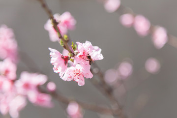 Fotomurales - Beautiful pink flowers background of peach or nectarine bloom in spring ourside.