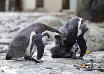 two Humboldt penguins cleans feathers
