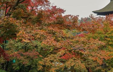Autumn trees at garden in Kyoto, Japan