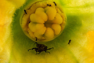 ants attacking beatle inside zucchini flower