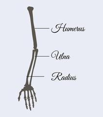 Arm Parts Poster Explanation Vector Illustration