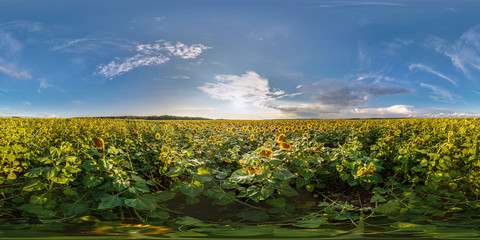 full seamless spherical panorama 360 by 180 degrees angle view among blooming sunflowers fields in sunny summer evening in equirectangular projection, skybox VR AR virtual reality content