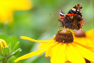 Butterfly on a flower prepares to collect nectar