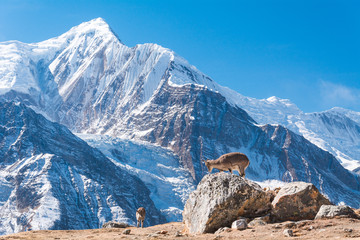 Two female Bharals or Himalayan Blue Sheeps (Pseudois Nayaur) from the way to Ice Lake with Mount Gangapurna in background, Munchi, Annapurna Circuit Trek, Nepal