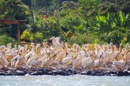 Great white pelican (eastern white pelican, rosy pelican or white pelican) on the coast of the lake Tana, the largest lake in Ethiopia. Amhara Region, the north-western Ethiopian Highlands, Bahir Dar.