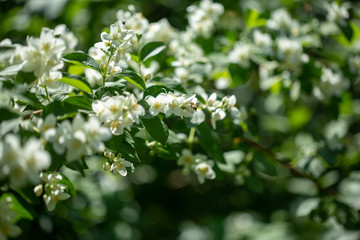 Beautiful blooming jasmine branch with white flowers.