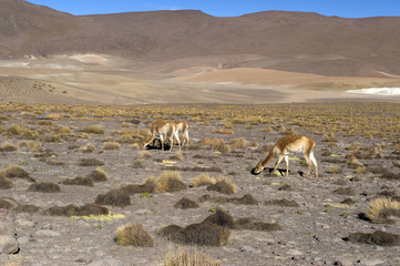 Lama and Vicuna in Atacama desert